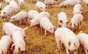 От 2008 г. насам са инспектирани по около 100 хил. свиневъдни обекта годишно