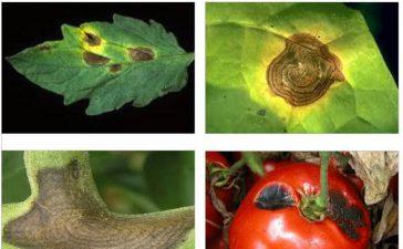 Алтернария (кафяви петна) по доматите Alternaria solani Sorauer