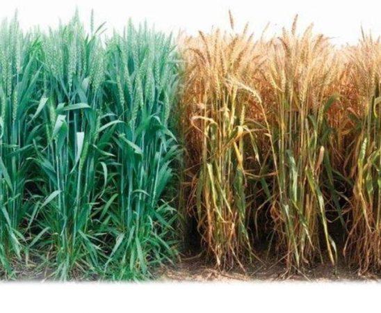 Още от старта на сезон 2014/15 година агроклиматичните условия предлагат много трудности при отглеждането на житните култури