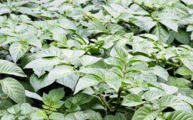 Борбата срещу плевелите при картофите е необходима