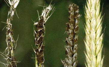 Заразяването с праховита главня става по време на цъфтежа на пшеницата.