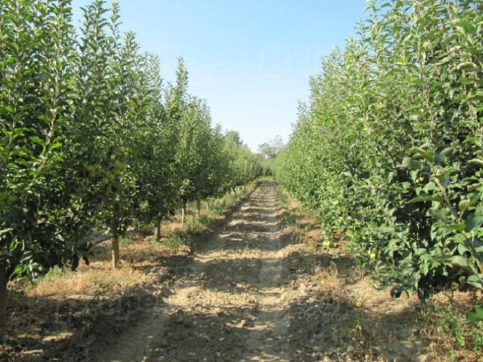 Ябълката е най-богатият на сортове овощен вид.