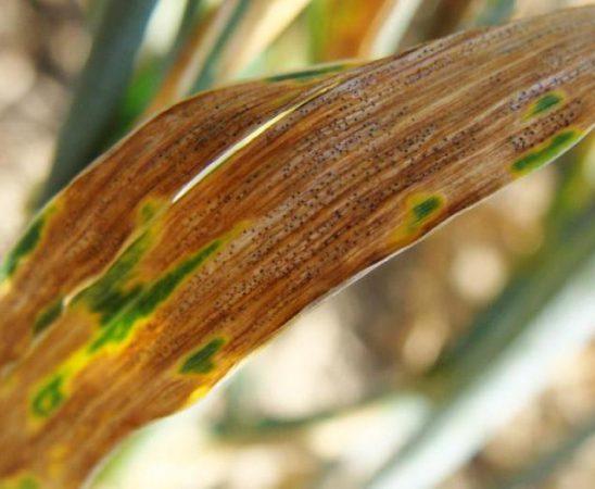 Първите симптоми на Ран листен пригор по пшеницата са малки хлоротични петна по листата