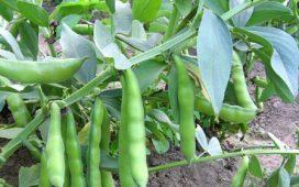 Нормите за торене на баклата се определят от вида на отглежданата култура (едросеменна или дребносеменна) и от запасеността на почвата