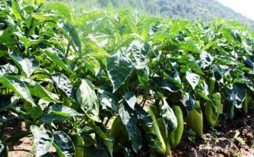 Инспектори от отдел Растителна защита от ОДБХ Хасково установиха