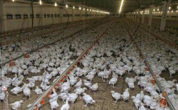 Предстои унищожаването на над  116 хил. птици