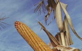 Неблагоприятните за царевицата условия през 2015 година не попречиха да се постигнат стабилни добиви