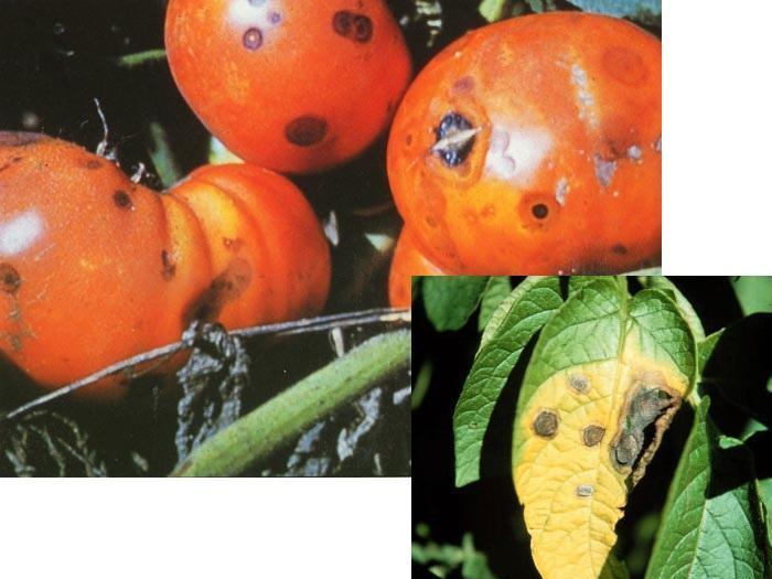 Антракнозата засяга предимно безразсадово отглежданите домати. Симптоми се наблюдават по зазряващите и узрели плодове