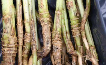 Гниене на стъблата и кочаните (Fusarium spp.)