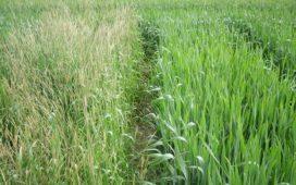 Топлата есен на 2015 година даде възможност на житните плевели да започнат развитието си още преди зимуването на пшеницата и ечемика.