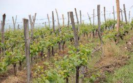 """Приемът на заявления за финансова помощ по мярка """"Преструктуриране и конверсия на лозя"""" от Националната програма за подпомагане на лозаро-винарския сектор ще продължи от 5 до 25 юни 2014 г."""
