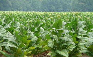Производителите и търговците на тютюн са заинтересовани продукцията да бъде изкупена и обработена