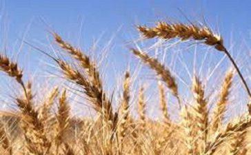 Общо получената продукция е в размер на 670 000 тона при среден добив 378 кг./дка.