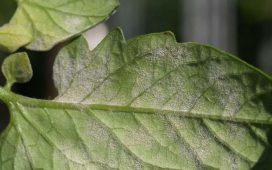Силно засегнатите листа стават кафяви и се сбръчкват