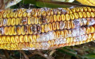 Гниене на семената и пониците са болести причинени от почвените  патогени Pithium spp. и Fusarium spp.