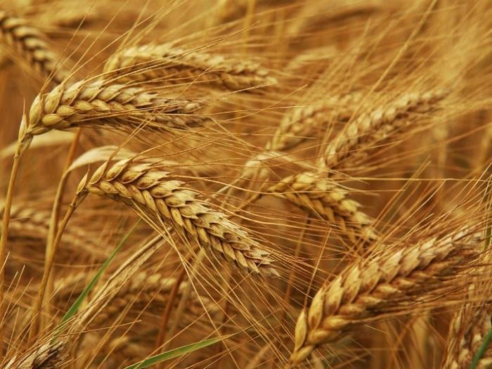 Средни добиви на пшеница реколта 2013