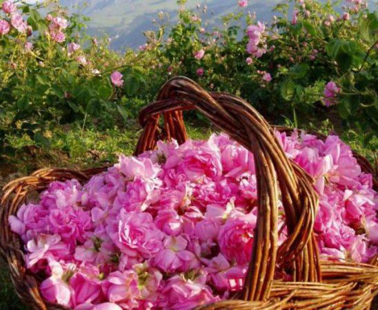 """Институтът по етеричномаслените култури в Казанлък е домакин на семинар на тема """"Нови технологии при производството на маслодайната роза""""."""