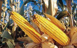 През 2013 г. година хибридите царевица на СИНДЖЕНТА доказаха високия си добивен потенциал. За 2014 г. СИНДЖЕНТА продължава да предлага отличнир