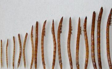 Описание и борба с Телените червеи по пипера