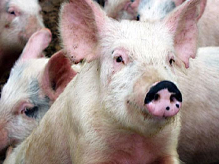 Българска агенция по безопасност на храните предприема последната за 2011 година кампания за орална ваксинация срещу класическа чума по дивите свине