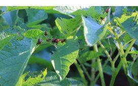 Борба и описание на колорадски бръмбар - инсектициди за борба