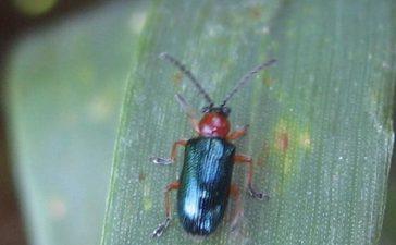 Обикновена житна пиявица (Lema melanopa)