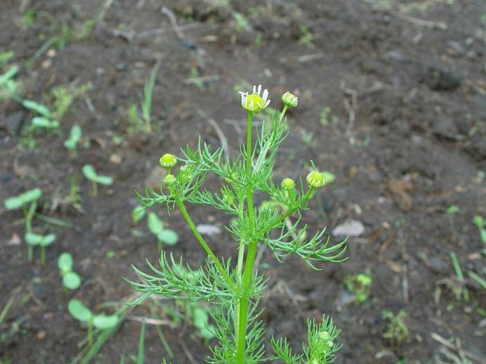 Лайката е едногодишен зимно-пролетен плевел