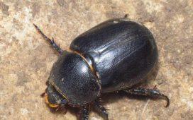 Възрастното е смолисто черен бръмбар със слаб мазен блясък и дължина на тялото 1