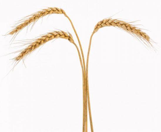 Особености и характеристики на Пшеница сорт ЕНОЛА