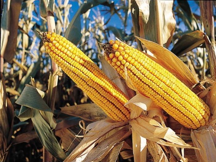 През 2013 година хибридите царевица на СИНДЖЕНТА показаха високия си добивен потенциал