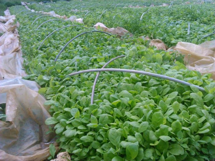 За 5 години производството на тютюн в родопското село Бръщен се е свило до 50 тона
