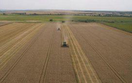 Ожъната е около 15% от засетите с пшеница площи
