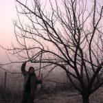 Формираща резитба на черешовите дървета по подобрената етажна корона. Клоните при черешата имат ясно изразена етажност
