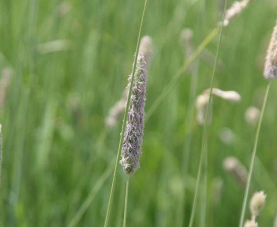 Лисичата опашка е плевел по рапицата и пшеницата