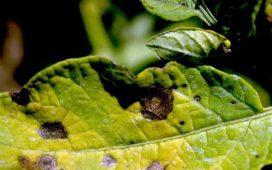 Борба с Кафявите листни петна по картофите
