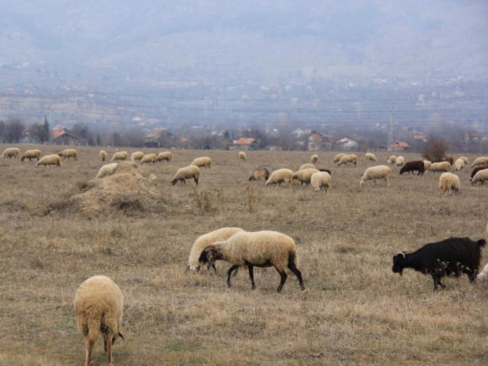 По схемата de minimis за изхранване на преживни животни през 2014 г. вече са сключени 11 770 на стойност над 12