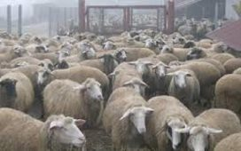 Стадо от 85 овце в село Чоба