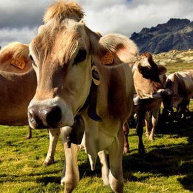 Животновъдите ще получат субсидии в размер на 38 лева за говеда