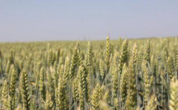 Посевите остават в отлично състояние въпреки студовете през януари и февруари
