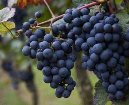 Гроздокомбайн може да прибира грозде от 10 дка за 1 час