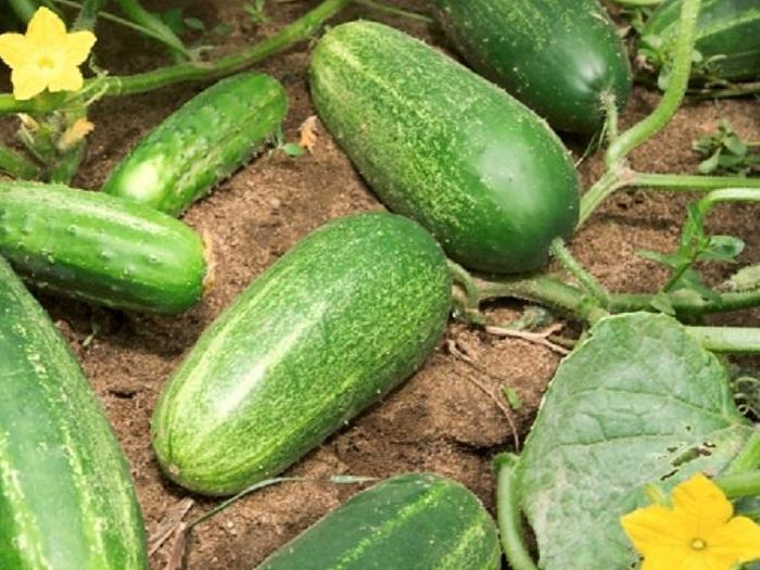 България също ще иска компенсации за загубите за производителите на краставици