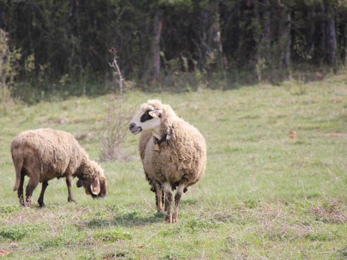 Парите са по  схемите за обвързано подпомагане за отглеждане на овце и кози-майки и биволи