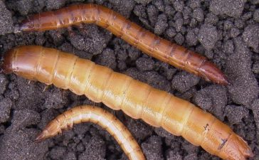 Телени червеи (ларви на бръмбари от сем. Elateridae)