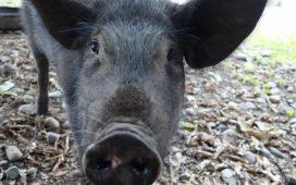 След 10 годишна забрана отново можем да изнасяме свине за Европейския пазар