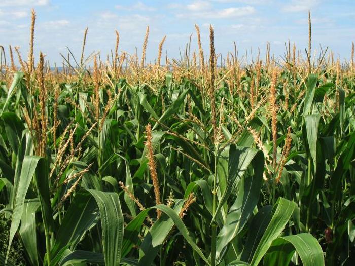 """Три нови сорта хибридна царевица показаха от """"Лиматрейн"""" по време на провеждащия се  агро семинар организиран от асоциацията на зърнопро"""