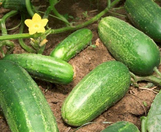 В България няма разпространение на заразените с ешерихия коли партиди краставици от Испания