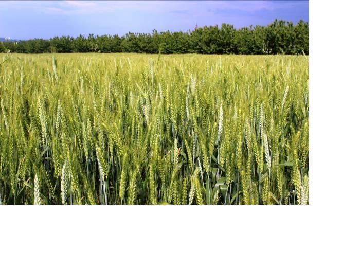 Отглеждането само на един сорт пшеница в едно средно голямо стопанство не е правилно