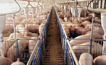 Помощта е за животновъди c 5-годишен ангажимент за хуманно отношение към свине или птици