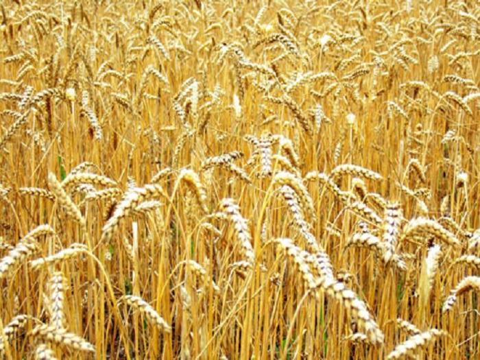 Във връзка със стартиращата есенна сеитба на пшеница