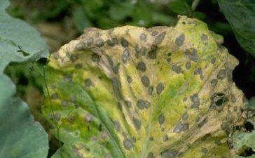 Причинители: род  Аlternaria - А. Brassicae (Berk. ) Sacc.